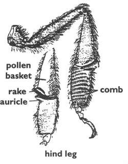 Diagram of pollen basket.