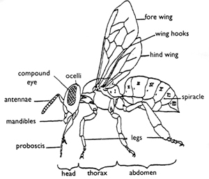 From Snodgrass, The Anatomy of the Honey Bee