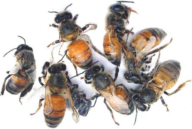 Adult bees with deformed wings resulting from DWV