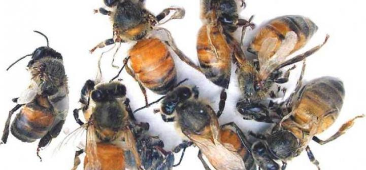 Adult bees with deformed wings resulting from DWV.