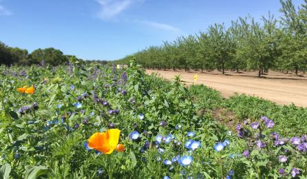 wildflower planting next to almond orchard
