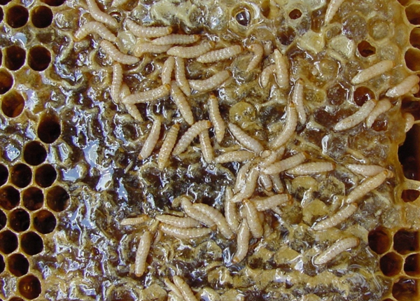Managing Small Hive Beetles – Bee Health