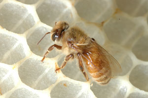 Fig.1: Female worker honey bee