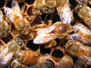 Fig.10. The egg-laying proficiency of queen bees is legendary, with numbers up to 1500 per day not uncommon.