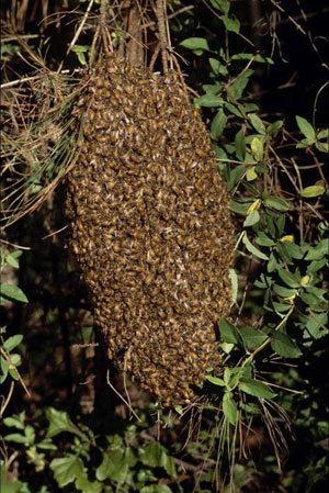 Fig. 13; A swarm of bees forms on a branch.