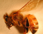 Image:HoneyBeeAnatomyFeature.jpg