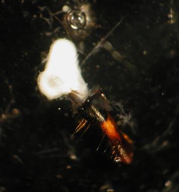 Honey bee mandibular gland. (c) Zachary Huang