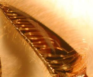 Pollen basket on hind leg