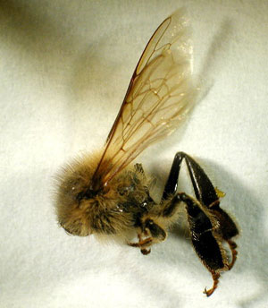 Thorax of the honey bee