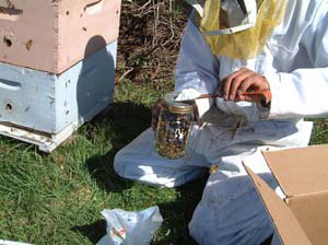 Powder Sugar Roll for Varroa Sampling – Bee Health