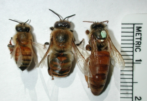 A worker, a drone, and a queen can be distinguished by the size and shape of their abdomen. The queen pictured here was laying eggs, as can be seen by her large abdomen.