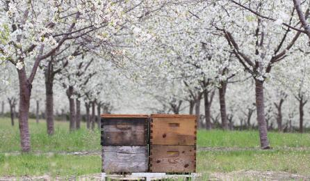 Honey bee hives in tart cherry orchard