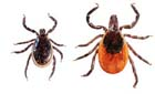 Image of ticks