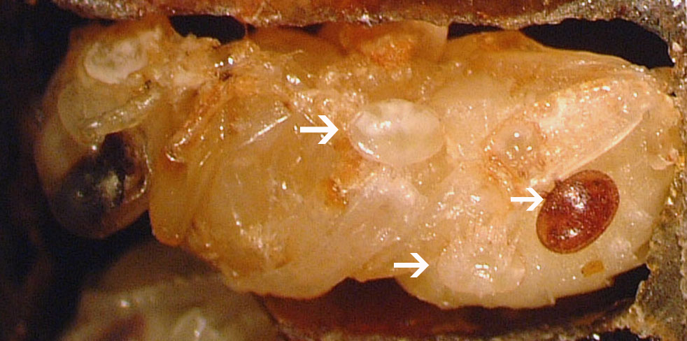 Reproductive Varroa mite on a developing pupa (reddish oval) and two immature Varroa (opaque ovals). arrows added for emphasis)