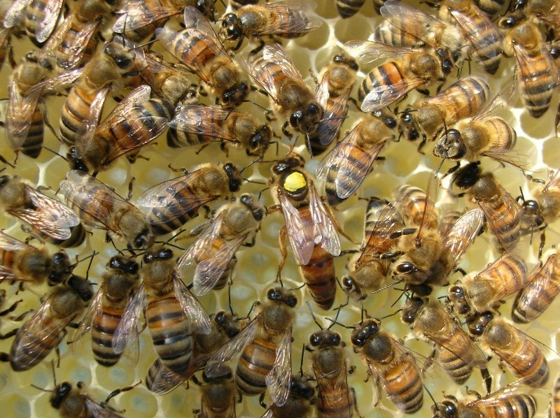 Honey Bee Queens: Evaluating the Most Important Colony